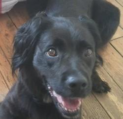 Doubai, chien Épagneul breton