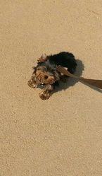 Ioda, chien Yorkshire Terrier
