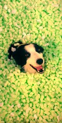 Douby, chien Border Collie