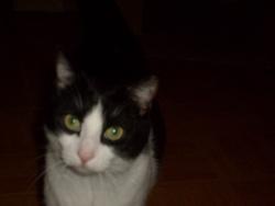 Douce, chat Gouttière