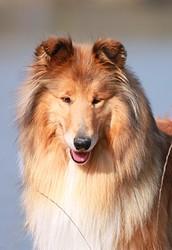 Douce-Amère Blonde De Cabrenysset, chien Colley à poil long
