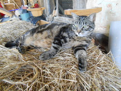 Doucette, chat American Shorthair