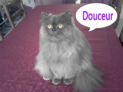 Douceur, chat Persan