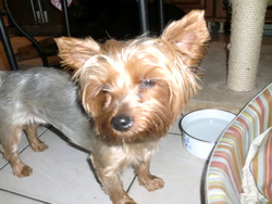 Douchka, chien Yorkshire Terrier