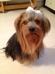 Douchka, chien Yorkshire Terrier