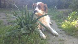 Douchka, chien Épagneul breton