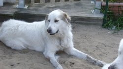 Douchka, chien Mâtin des Pyrénées
