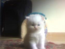 Douchka, chat Persan