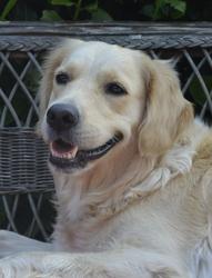 Douchka, chien Golden Retriever
