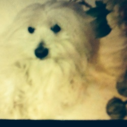 Douchka, chien Coton de Tuléar