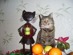 Douchka, chat Européen