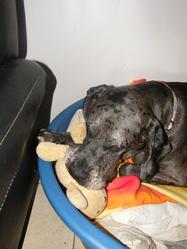 Douchka, chien Dogue allemand