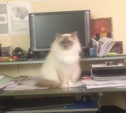 Doudou, chat Birman