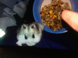 Doudou, rongeur Hamster