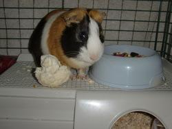 Doudou, rongeur Cochon d'Inde
