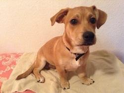 Doudou, chien Jack Russell Terrier