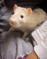 Doudou, rongeur Rat