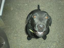Doudou, chien Labrador Retriever