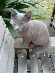 Doudou, chat Chartreux
