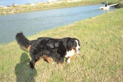 Doudou, chien Bouvier bernois