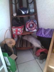 Doudoune, chat Européen