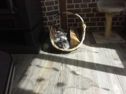 Doudoune, chat Maine Coon