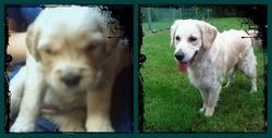 Doudoune, chien Golden Retriever