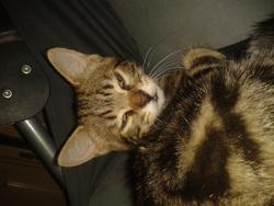 Doudounne, chat Gouttière