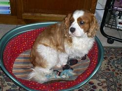 Doug, chien Cavalier King Charles Spaniel
