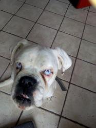 Doug, chien Boxer