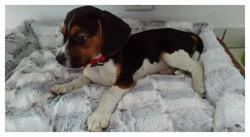 Doug, chiot Beagle