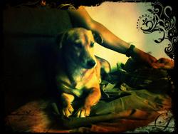 Douggie , chien Jack Russell Terrier
