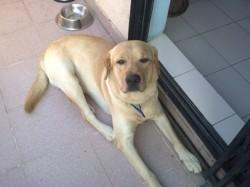 Dougi, chien Labrador Retriever