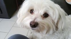 Dougi, chien Bichon maltais