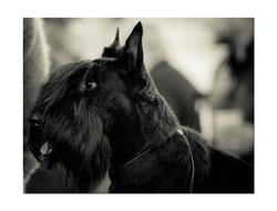Douglas, chien Scottish Terrier