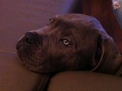 Douglas, chien Cane Corso