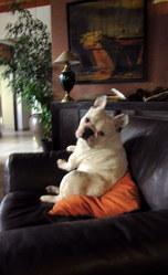 Douglas, chien Bouledogue français