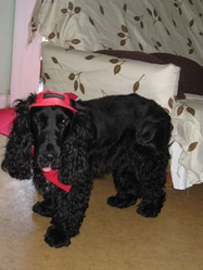 Douglas, chien Cocker anglais