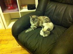 Douguy, chat Siamois