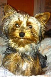 Dougy, chien Yorkshire Terrier