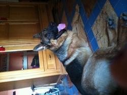 Douk, chien Berger allemand