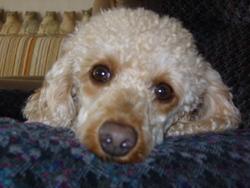 Douki, chien Caniche