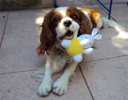 Douky, chien Cavalier King Charles Spaniel