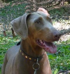 Doum, chien Dobermann