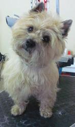 Douna, chien Cairn Terrier