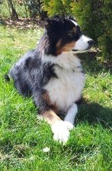 Douna, chien Berger australien
