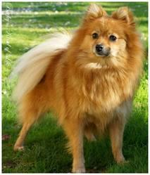 Douna, chien Spitz allemand