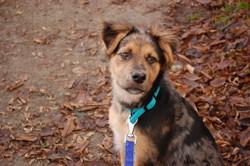 Douna, chien Berger allemand