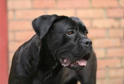 Dounia De La Guittonnie, chien Cane Corso