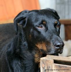 Douroc Des Bergers Du Vent, chien Beauceron